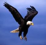 American-Bald-Eagle-feature