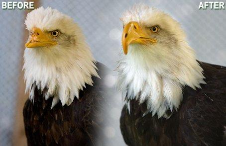 Beauty the bald eagle new beak