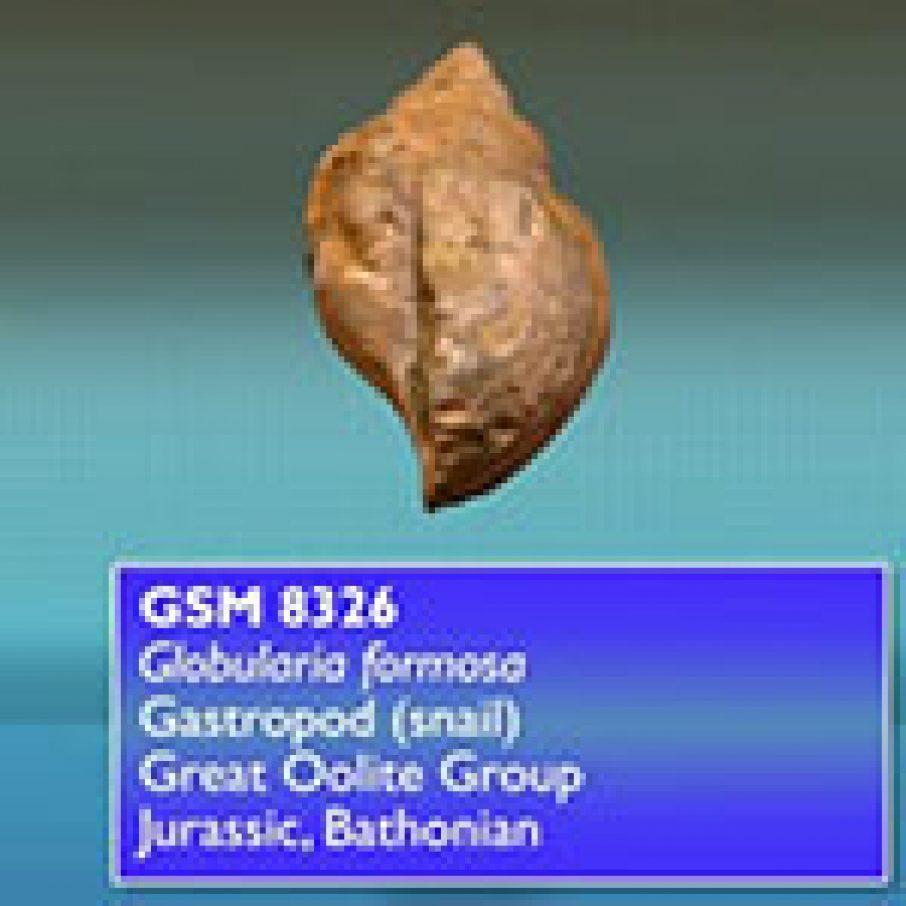 Globularia Formosa fossil 3D model