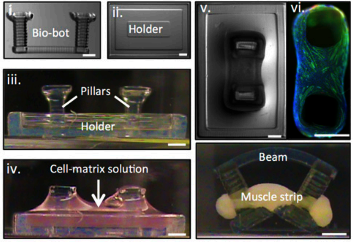 3D Printed Bio-Bots Use Mouse Muscle to Move - 3D Printing