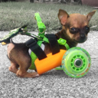 Disabled Chihuahua Rides in 3D Printed Style