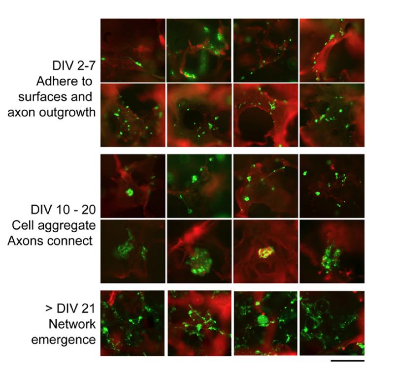 neuronal activity in 3D brain tissue