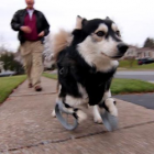 3D Printed Paws Give Derby New Leash on Life
