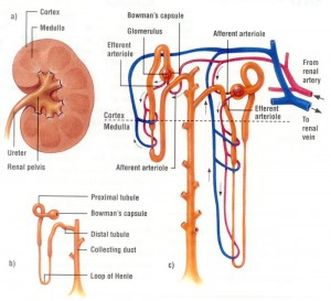 Kidney-Diagram