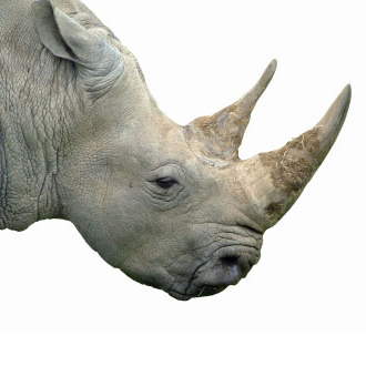 A rhinocerous isolated on white