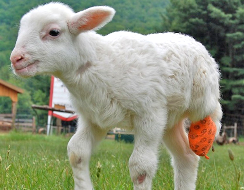 felix-sheep-3d-print-leg