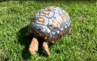 Tortoise gets a new shell thanks to 3D printing