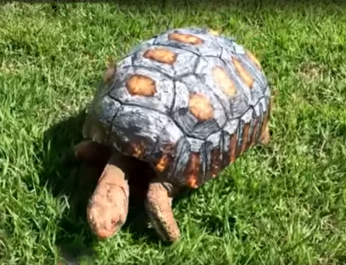 Tortoise gets new shell, thanks to 3D printing