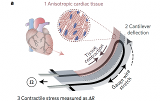 Diagram showing contractile stress of the heart on a chip. Image via: Nature MaterialsDiagram showing contractile stress of the heart on a chip. Image via: Nature Materials