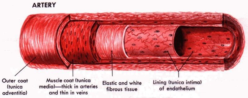 More complicated than just 'tube', arteries have a complex multi-layer structure. Image via: full-health.com