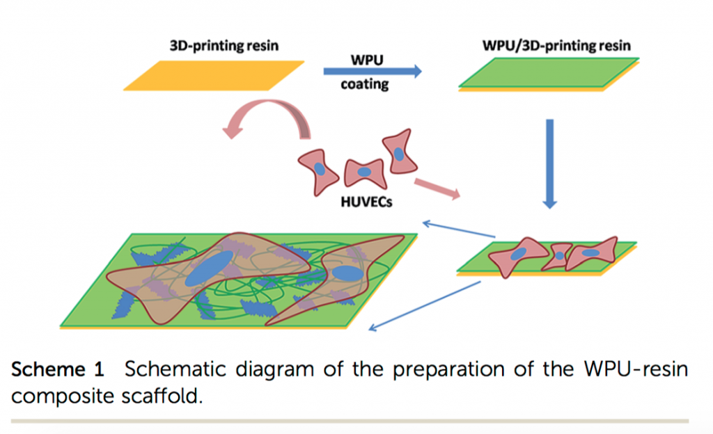 "The process of making a biological scaffold (HUVECs short for human umbilical vein endothelial ""stem"" cells) Image via: RSC Advances"