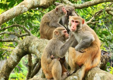 Rhesus Macaque monkeys photo by: cattan2011 on Flickr