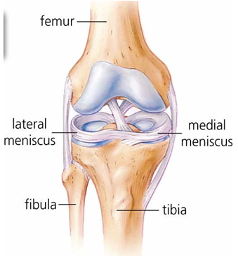Medical diagram of the Meniscus in the knee. Image via Physical Healthcare.au