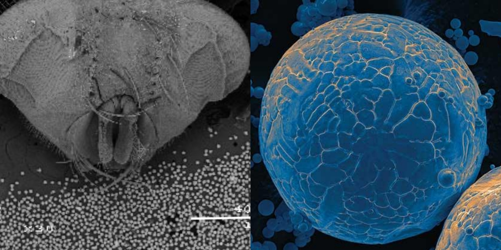The smooth spherical texture of Ames Lab atomized titanium seen under an electron microscope. Image on the left shows a horsefly head for size comparison. Images via: Ames Laboratory.