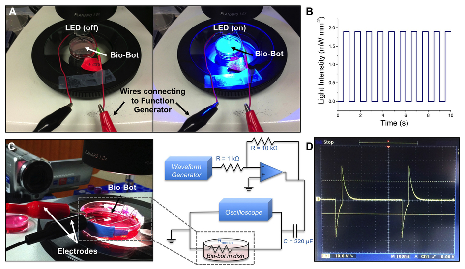 Bringing the bio bots to life with an electrical charge. Graphs B & D gives an idea of what the pulse should look like when recorded, schematic at C shows the set up of equipment. Figure via: Rashid Bashir et al.