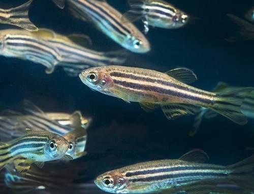 3D printed robotic fish unlocks secrets of the brain