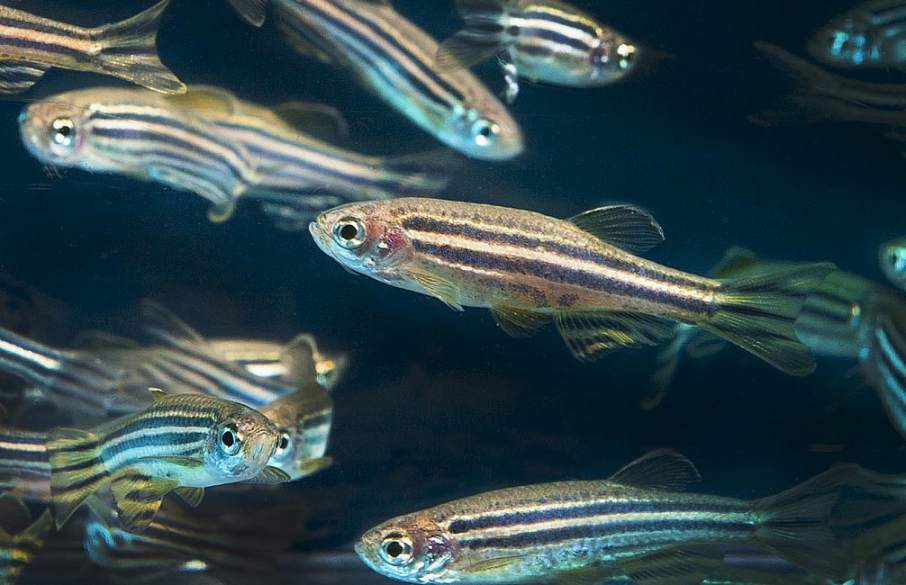 Zebrafish photo by Oregon State University on Flickr