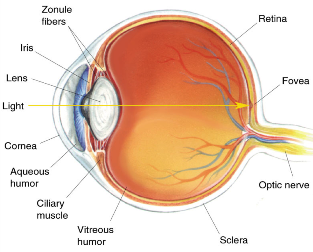 Diagram of the human eye with a labelled line of sight to the fovea. Image via: The Investment
