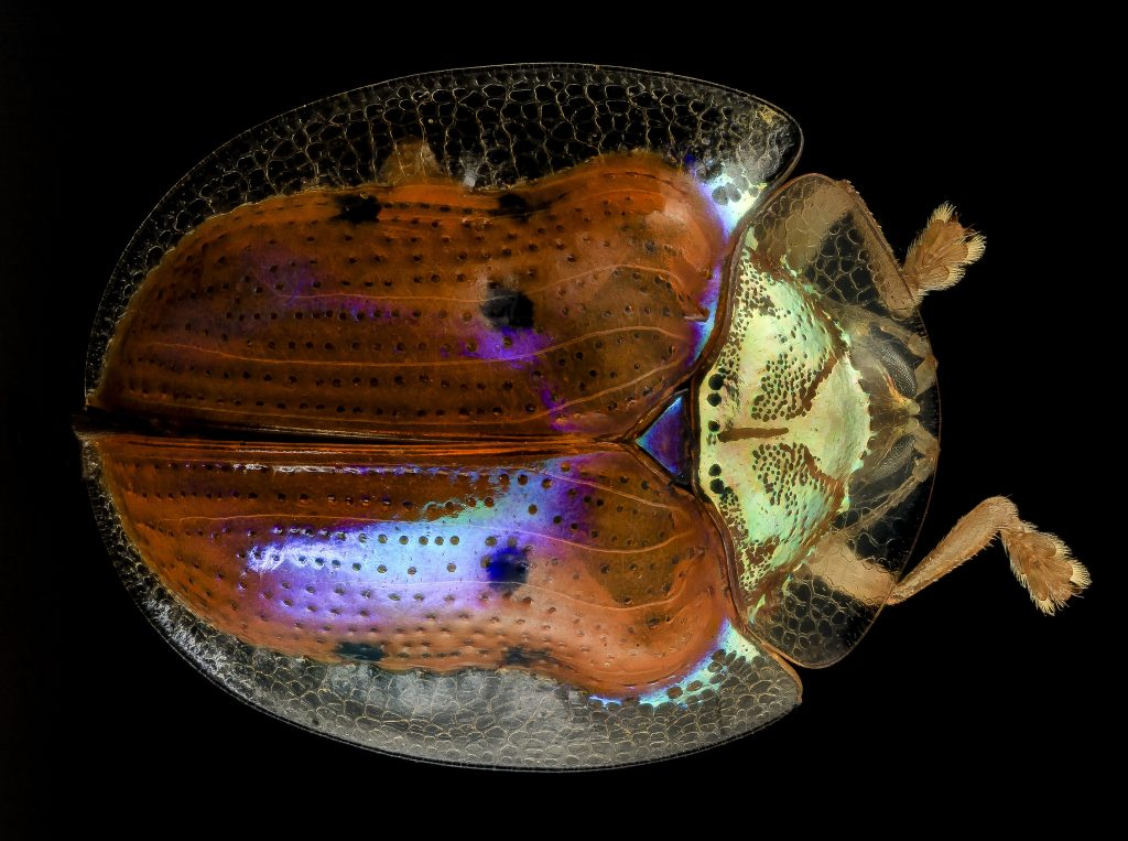 Color change in the back of a golden tortoise beetle (Charidotella sexpunctata) seen in comparison to its gold head. Photo via USGS Bee Inventory and Monitoring Lab