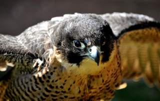Peregrine falcon photo by Nic Trott, nikon_nic on Flickr