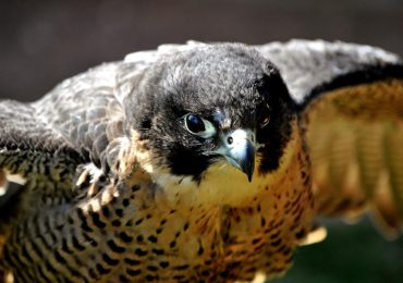 Peregrine falcon photo by Nic Trott, nikon_nic on Flickr