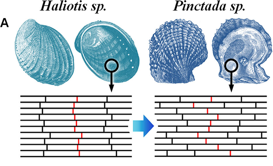 Overlapping structure of layers in abalone (Haliotis) and oyster (Pinctada) shells. Image via Simon Frølich, James C. Weaver, Mason N. Dean and Henrik Birkedal
