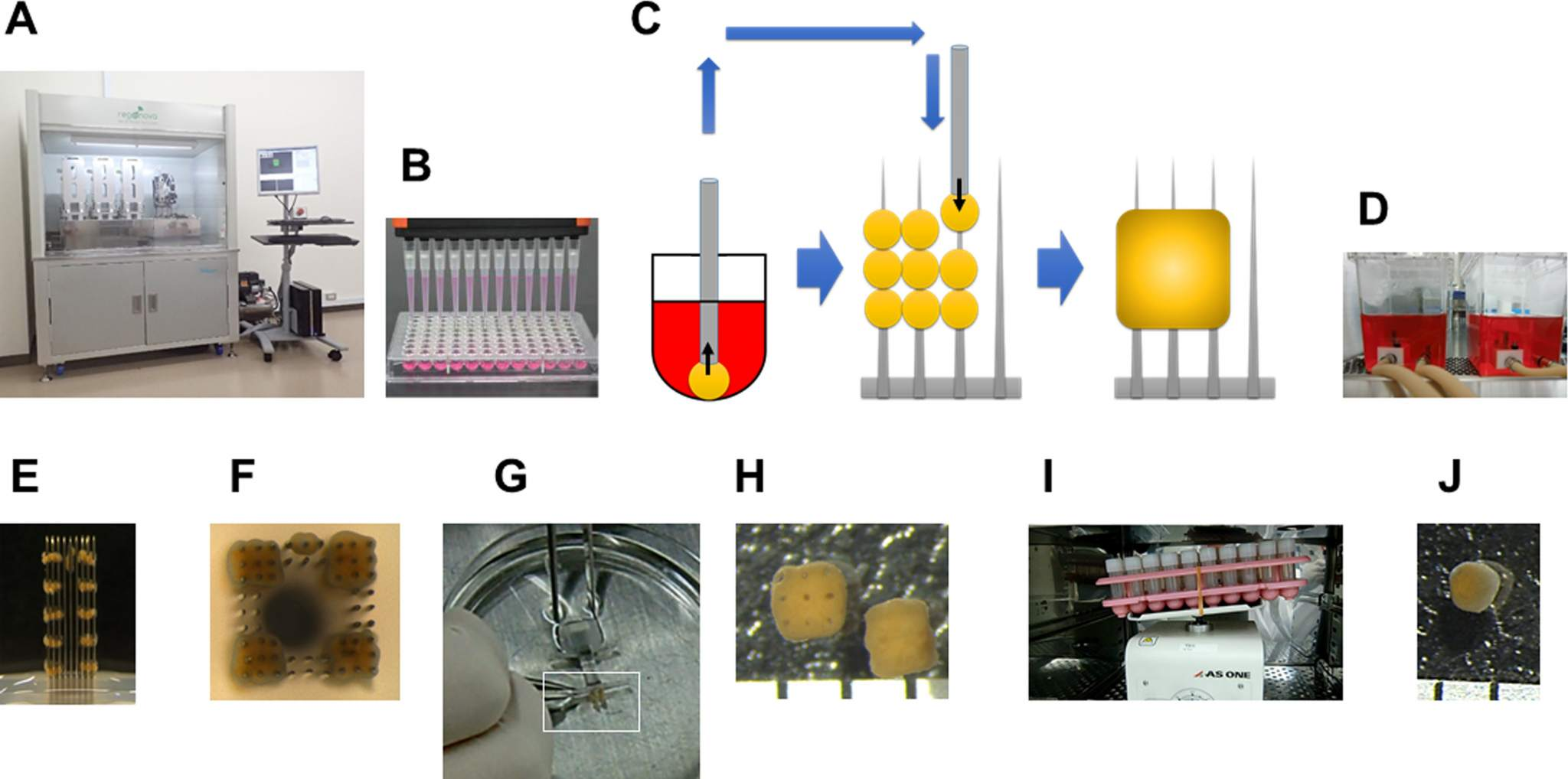 Figure 1 from the paper shows the 3D printing method which uses skewers (C) as supporting structure which are later removed. Image via Biochemistry and Biophysics Reports.