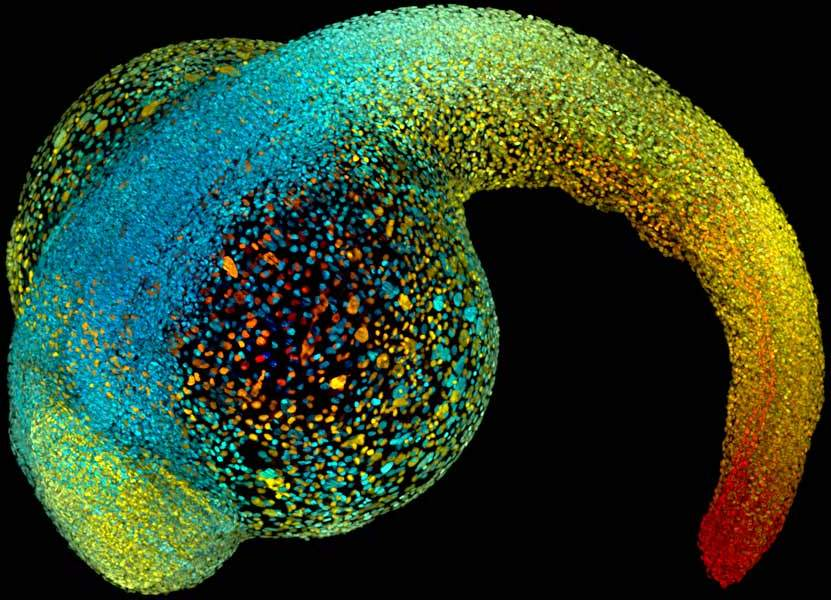 Colorized image of a zebrafish embryo - one of the key interests in regenerative medicine for its ability to regrow its own heart. Image via Keller, Lemon, Wan and Branson, Janelia Farm Research Campus/Howard Hughes Medical Institute, Ashburn, VA.