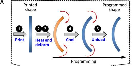 Diagram of the process published in Science Advances. Image via Ding, Yuan, Peng, Wang, Qi & Dunn.