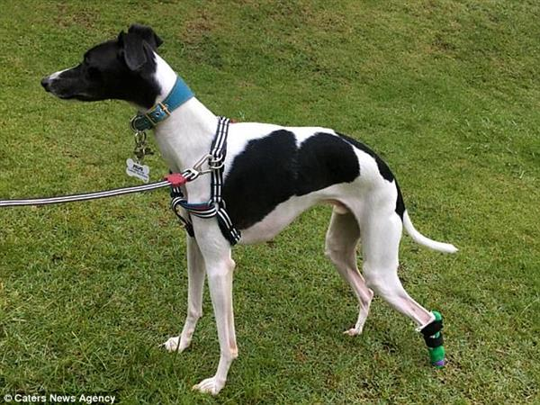 Zeus the whippet with his 3D printed prosthesis.