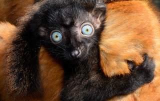 An endangered blue-eyed black lemur. Photo via Duke Lemur Center.