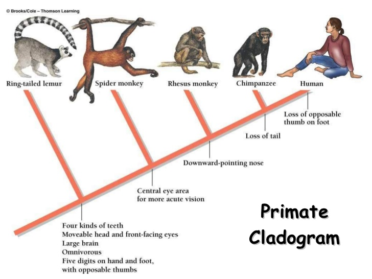 Diagram shows the evolution of humans from primates and the link to lemurs.