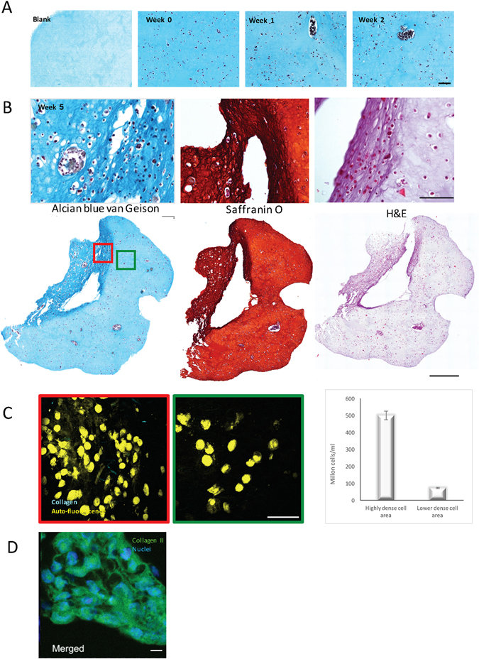 Results showing 3D bioprinted cartilage-like tissue.