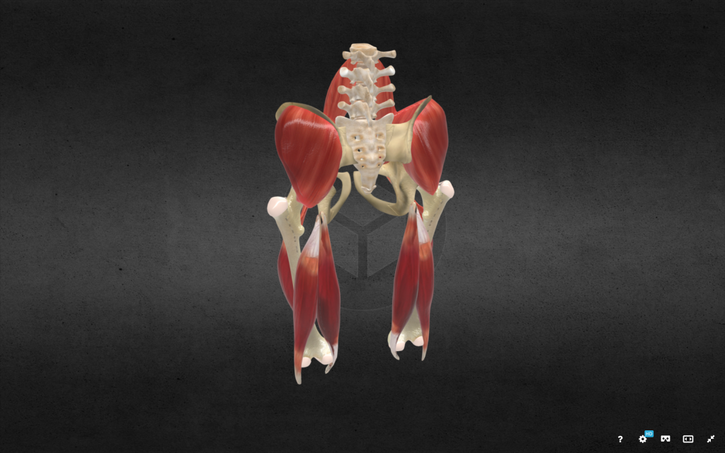 An example of a 3D modeled pelvis with muscle anatomy. Image via digitallab3d on Sketchfab