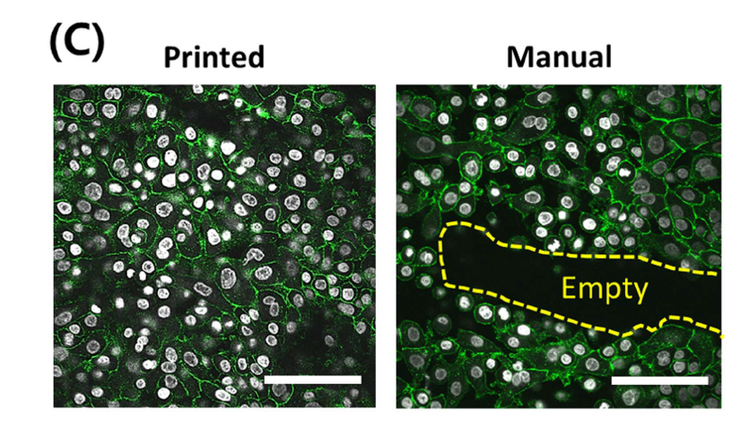 Comparison of cell density when 3D printed (left) and prepared manually (right) Image via Kim, Lee, Gao & Cho