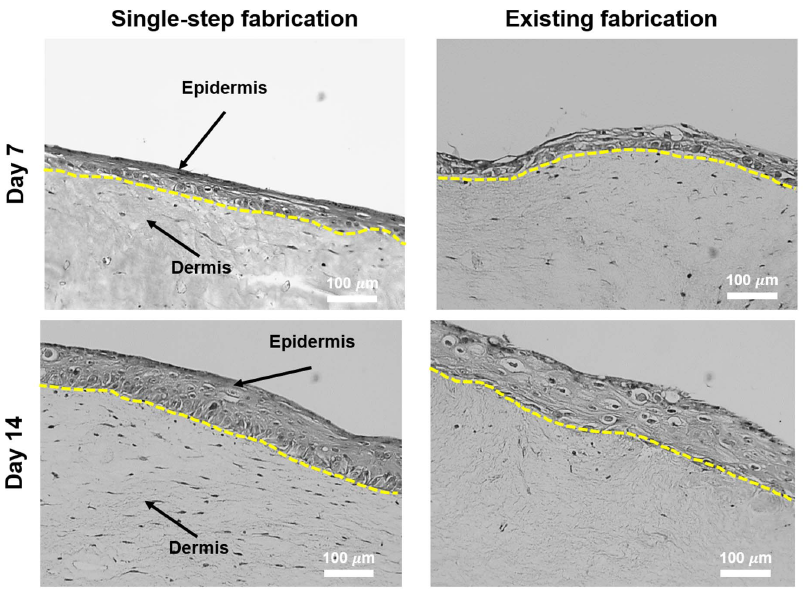 "Comparison of the so-termed ""single-step"" 3D bioprinting of skin, against the existing means of manual cell seeding. The 3D bioprinted cells show more rapidly developing thickness at day 7, and an overall more compacted and ordered arrangement. Image via Kim, Lee, Gao & Cho"