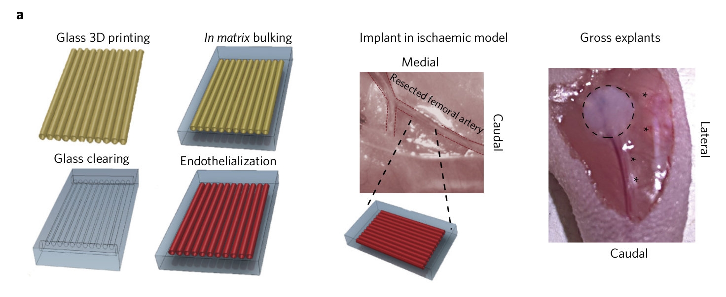 Figure 1a shows the process of 3D printing carbohydrate glass filaments, which are then coated in proteins before the sacrificial sugar is removed. Image via Nature Biomedical Engineering.