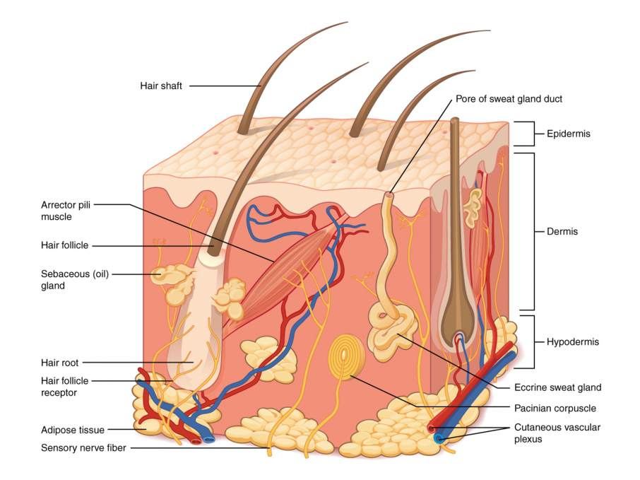 Structure of human skin. Diagram via Philschatz's Anatomy-Book on GitHub