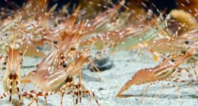 Shrimp stampede. Photo via Vancouver Aquarium.