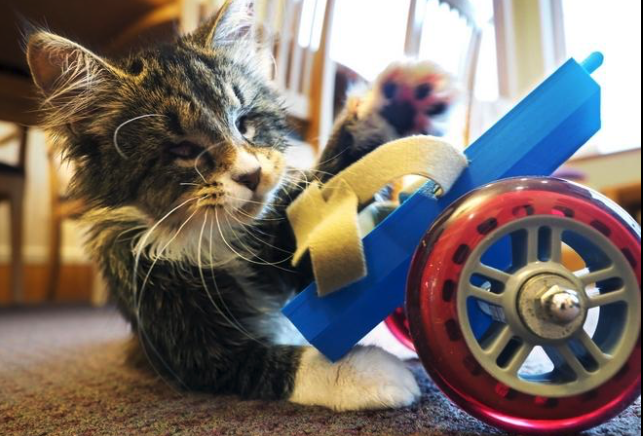 Ray the kitten and his 3D printed wheelchair. Photo via seacoastonline
