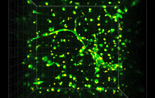 Stem cells forming capillaries between days 3 and 4 of the Rice University study. Screenshot via Biomaterials Science supplementary materials Movie 5.