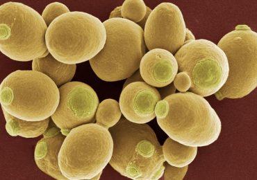Yeast cells. Image via BBC.