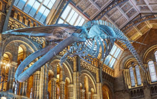 Hope the Whale suspended from the ceiling of Hintze Hall. Photo via the Natural History Museum, London