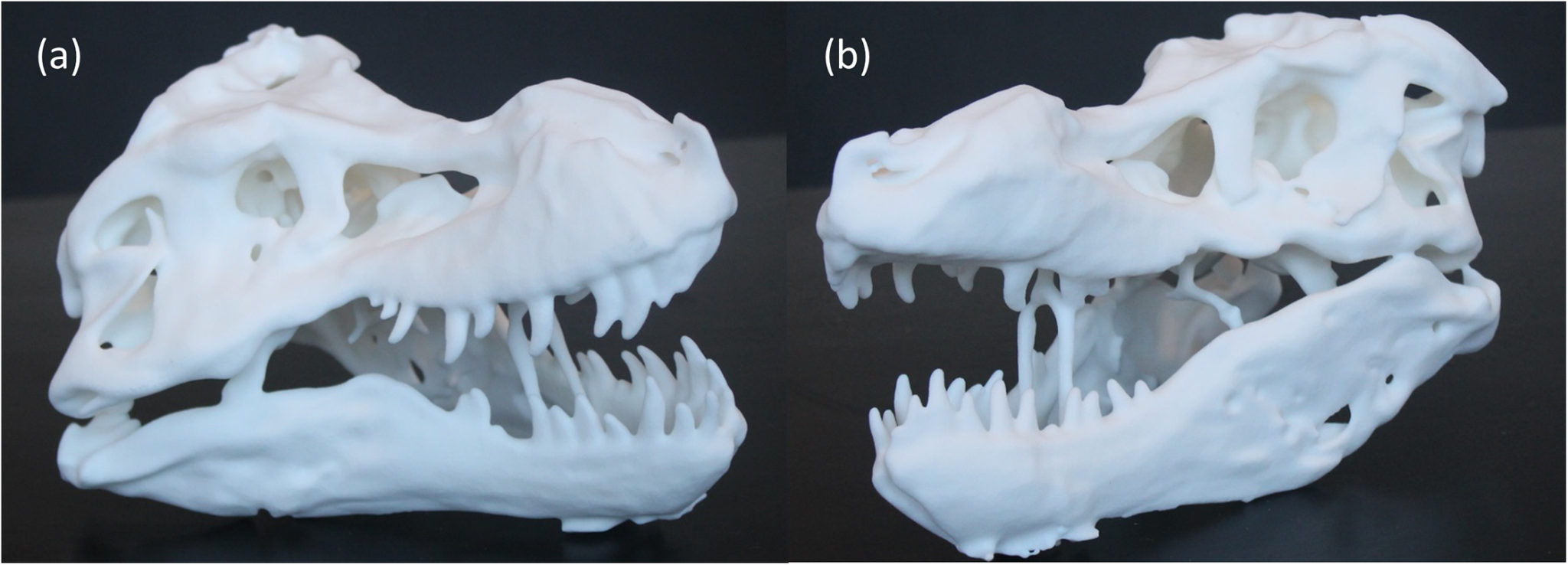 The 3D printed replicas which are about an eight of the size at 17.6 cm long compared to the actual 1.4 m. Image via PLOS ONE.