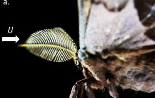 The plumose antennae of a North American polyphemus moth. Photo via Spencer, Lavrik and Hu