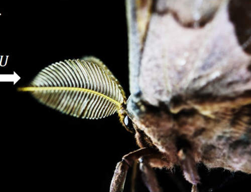 3D printed moth antennae uses smell to detect drugs and explosives