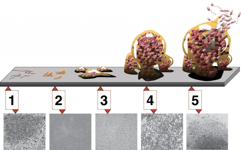 "The 5 stages of biofilm development. Image by D. Davis via D. Monroe ""Looking for Chinks in the Armor of Bacterial Biofilms""."