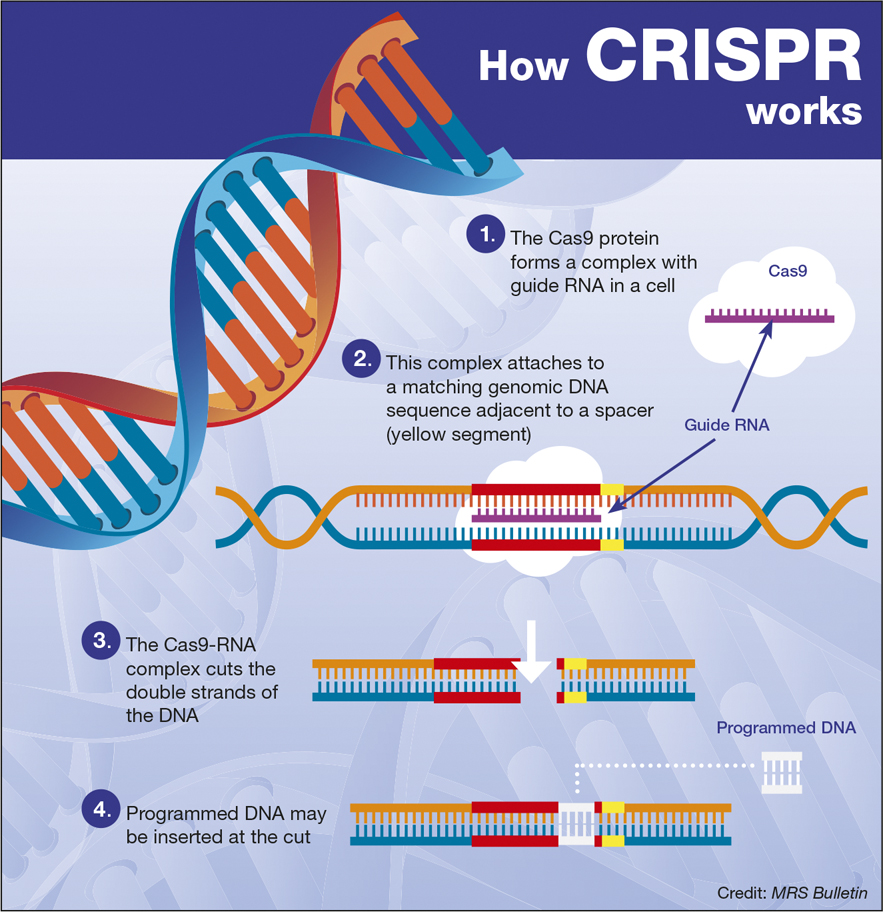 Cut copy and paste. Schematic of CRISPR gene splicing via the University of Cambridge