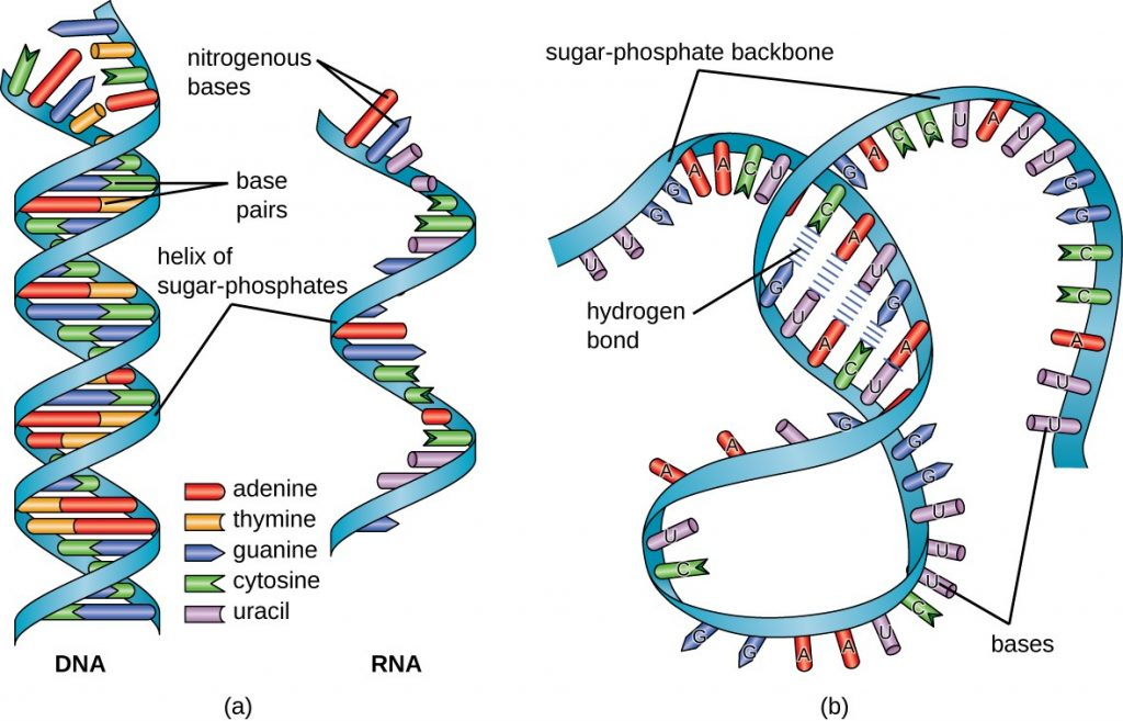 (a) comparison of DNA with RNA (b) single stranded, RNA can take on multiple forms by folding upon itself. Image via Lumen Learning