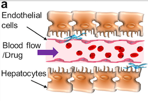 Introducing blood flow. Image via Shin et al.